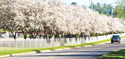City seeks 'tree lawns' for new trees